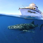 The Mighty Magellan with a beautiful Whale Shark