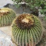 Pretty Cactus, Embarc, Palm Desert, Ca