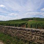 Chassagne Montrachet Vines