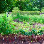 One view of the vegetable garden