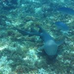 Nurse Shark swimming - Cozumel