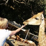 Getting acquainted with a giraffe