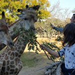 Hand feeding the giraffes