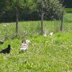 Kalkun, gjess og høns.