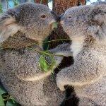 Les_Koalas
