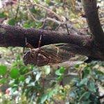 The cicada.