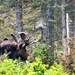 We were lucky to have spotted 6 moose