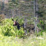This is one of the two female moose we spotted