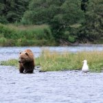 This is a brown bear about two years old. We saw right after where the guys were fishing for sal