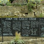 garlic farm