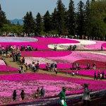 Pink Moss Hitsujiyama Koen early May