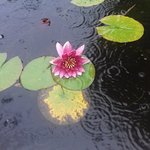 Our first water lily.