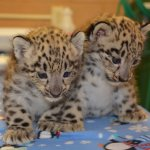 Snow Leopard Cubs during vet checkup