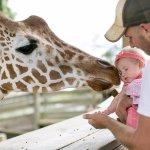 Guests Hand Feeding the Giraffes