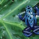Poison Dark Frogs
