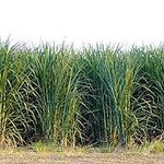 Our family has been growing sugarcane for 140 years!