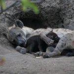 Hyena mom and baby