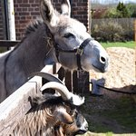 Bud the donkey and goat mate