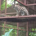 Foundation Jaguar Rescue Center Foto