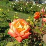 Photo of Municipal Rose Garden