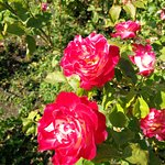 Photo of Municipal Rose Garden