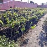 Almacigo de plantas jovenes