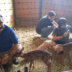 Bottle feeding the orphaned fawns- tails wag like puppies!