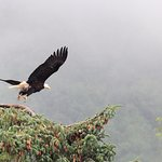 Taking flight bald eagle