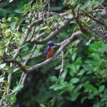 Blue Kingfisher on the Daintree River