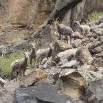 Lots of big horn sheep along the river