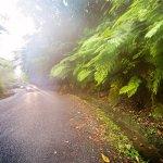 huge ferns along road