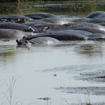 Lots of Hippos in River