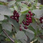 MASSACHUSETTS – ROWLEY - HUNSLEY HILLS CONSERVATION AREA – BIRD CHERRIES