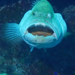face to face with a grouper