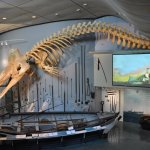 The main room at the Whaling Museum, including the skeleton of a sperm whale.