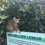 Photo of Lemur