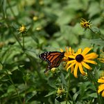 Butterfly in the Black-eyed Susans