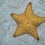 Yellow Starfish.