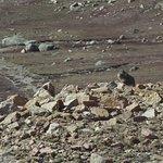Local inhabitant a Marmot on Pikes Peak descent