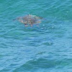 You can see turtles from the lanai!!