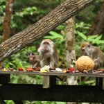 Macaques enjoying some tropical fruits.