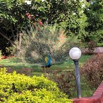 The peacocks at the hotel are beautiful!!