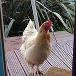 Friendly chicken at the door of the yurt