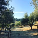 Olive trees around the houses