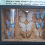 Butterflies that will fly near you in the Belize forests