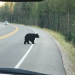 Black Bear in Teton