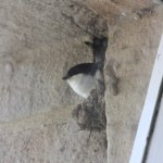 House martin/swallow nesting outside our bedroom