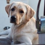 Our Boat dog, yellow lab, Goof