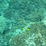 Lots of bright yellow fish