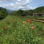 Poppies in bloom by the train tracks.